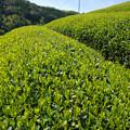 四月の茶畑