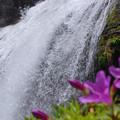 滝にキシツツジ