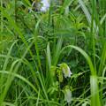 草むらにホタルブクロ