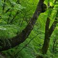 ハリギリの樹