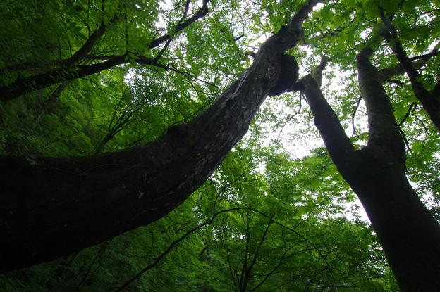 Photos: 森に聳える樹