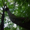 散歩道の大木