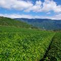 初秋の茶畑