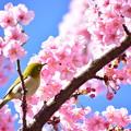 Photos: 河津桜とメジロん1
