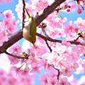 Photos: 河津桜とメジロん2