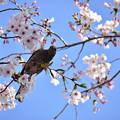 Photos: 桜ヒヨ