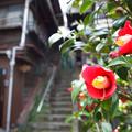 樋口一葉旧居前の椿
