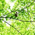 Photos: 新緑と無患子(むくろじ)の実