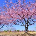 阿部池の河津桜