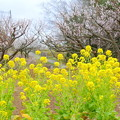 菜の花&白梅