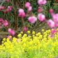 菜の花&紅梅