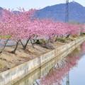 Photos: 河津桜が咲く田園風景