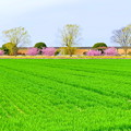 河津桜が咲く田園風景