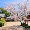 かしご山布施神社の桜NO.4