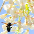 藤の花&蜂