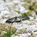 蝶の優雅な舞NO.1