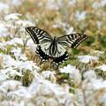 アゲハ蝶の飛翔NO.1