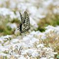 アゲハ蝶の飛翔NO.2