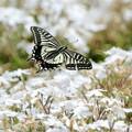 アゲハ蝶の飛翔NO.3