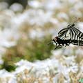 アゲハ蝶の飛翔NO.4