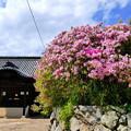 瀬戸内市大賀島寺のツツジNO.1