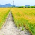 岡山市七区の麦畑NO.1