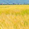 岡山市七区の麦畑NO.2