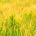 岡山市七区の麦畑NO.3