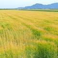 岡山市七区の麦畑NO.4
