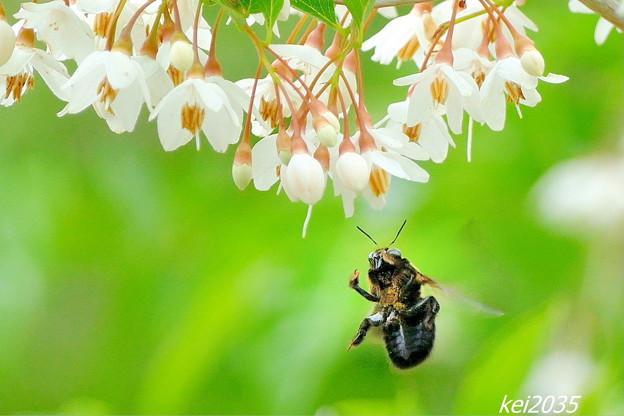 エゴノキ&蜂