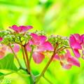 Photos: 住心院の紫陽花NO.2