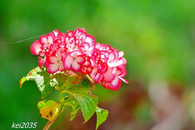 Photos: 住心院の紫陽花NO.4