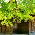 曹源寺の新緑