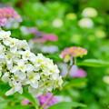 圓福寺の紫陽花