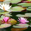 小名郷池のスイレン