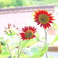Photos: ひまわりNO.5