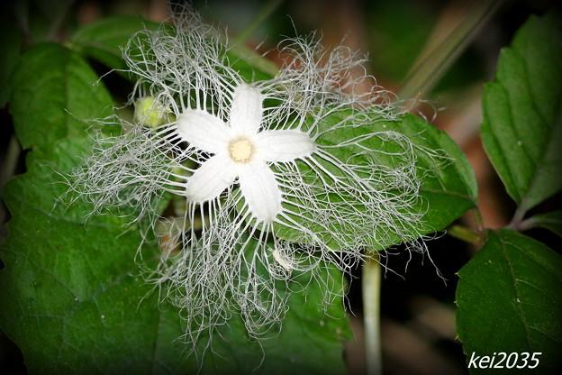 カラスウリの花