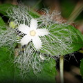 Photos: カラスウリの花
