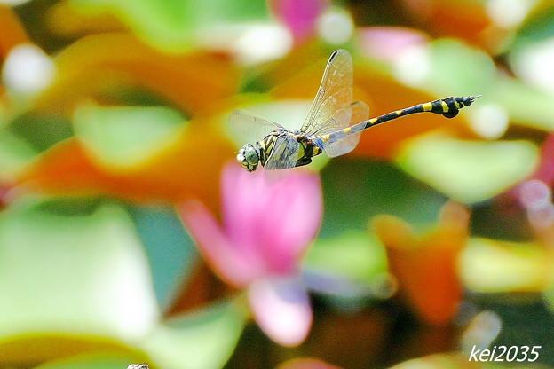 Photos: 蜻蛉の飛翔NO.1