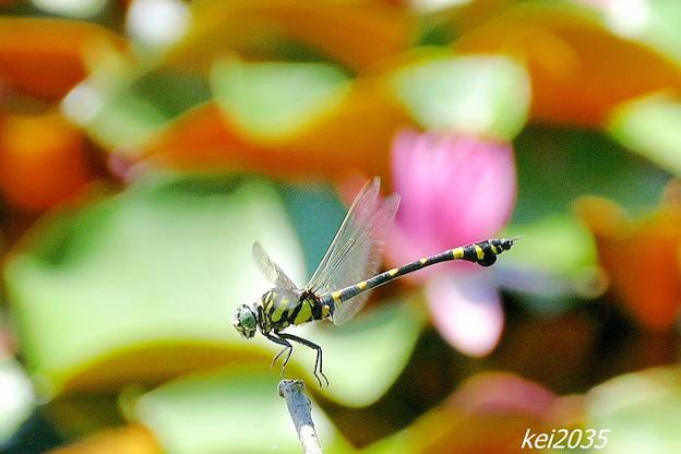 蜻蛉の飛翔NO.2