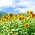 Photos: ひまわりNO.2