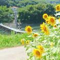 Photos: 潜水橋とひまわりNO.4