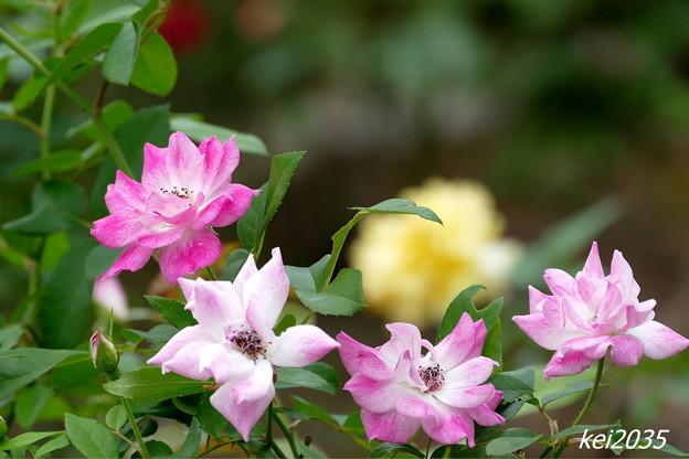 薔薇「1」