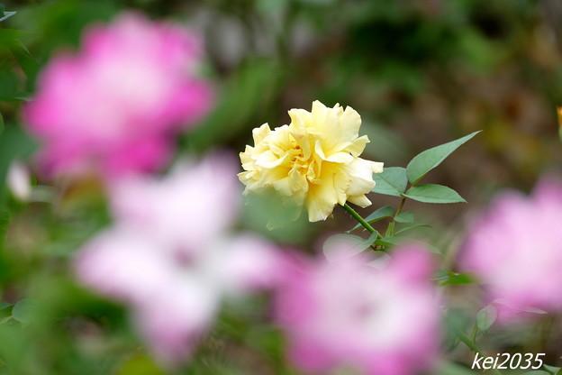 薔薇「2」