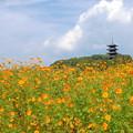 Photos: キバナコスモス&五重塔