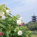 フヨウの花&五重塔