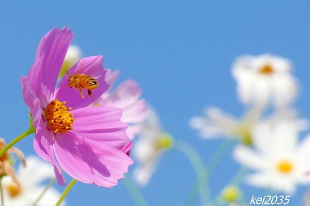 コスモス&蜜蜂