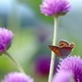 センニチコウ&蝶