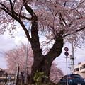 宇都宮市新川桜並木