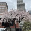 Photos: 21.03.20.善性寺(東日暮里)